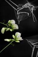 Sweetpea Reflected