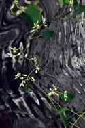 Euphorbia Waterfalling