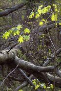 New Leaves on Deadfall